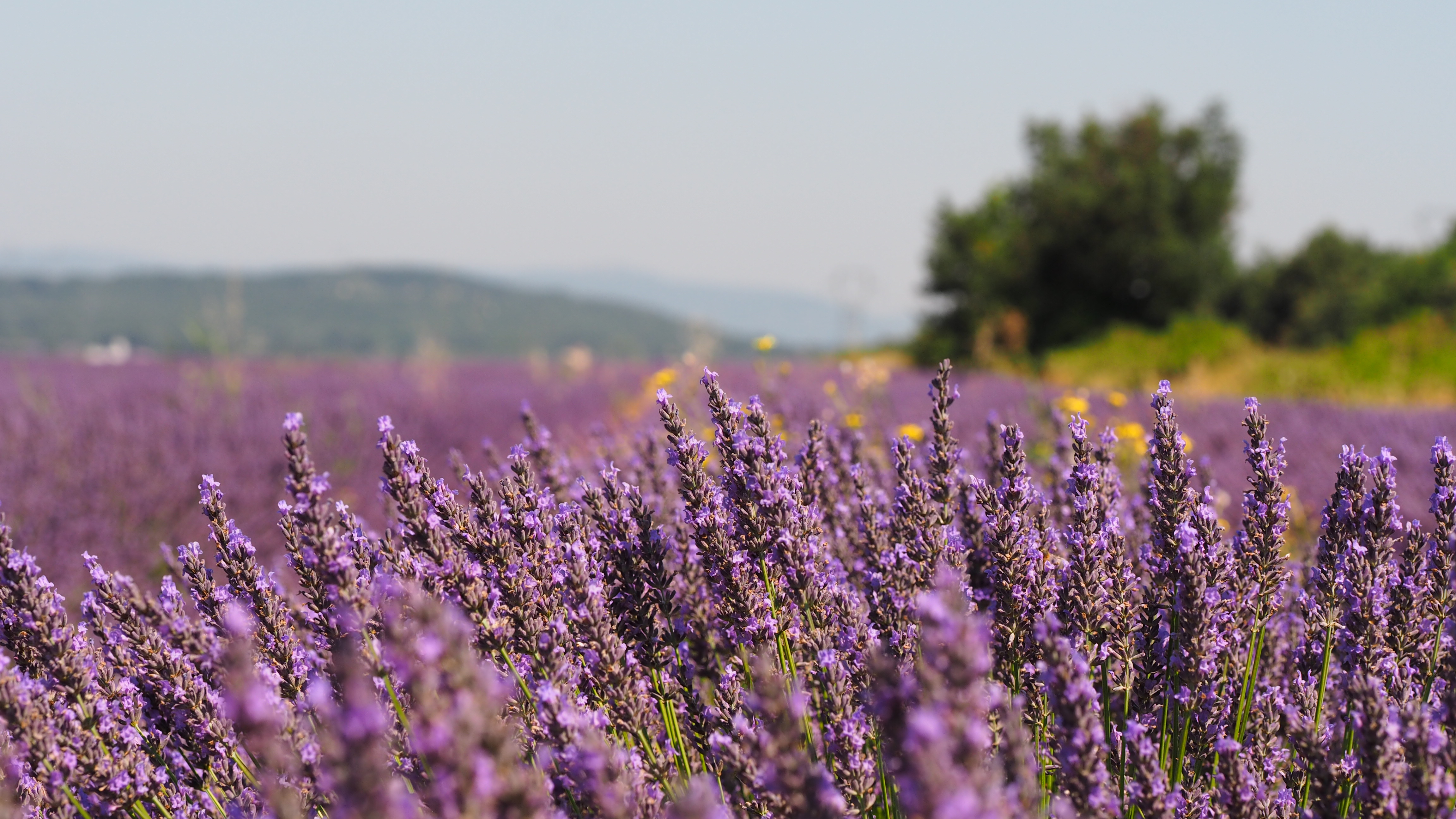 Reise in den Lavendel...